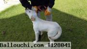CHIOT LABRADOR ROYAL