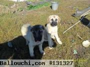 chiots Turkish Kangal