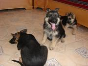 CHIOTS AUTHENTIQUES BERGERS ALLEMANDS, PURE RACE