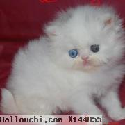 Tunisie annonces,CHATONS PERSAN